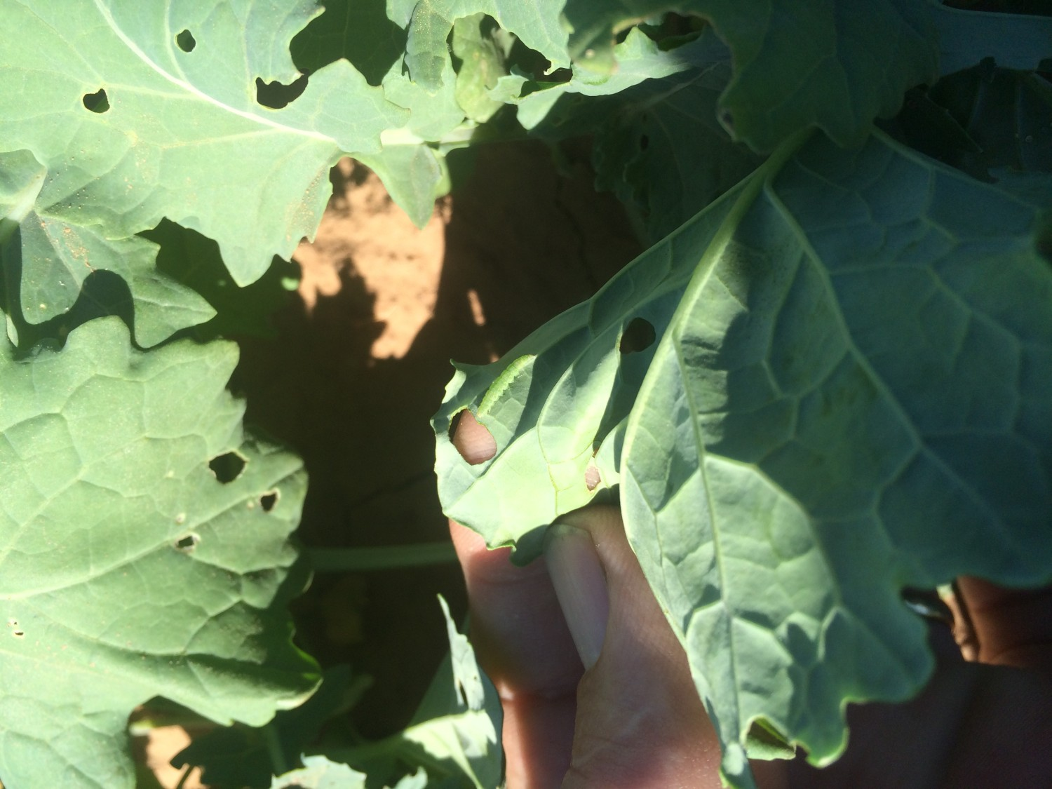 Canola: Insects and Glyphosate