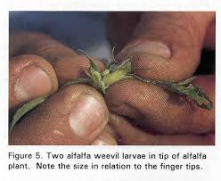 Alfalfa Weevil Starting to Hatch